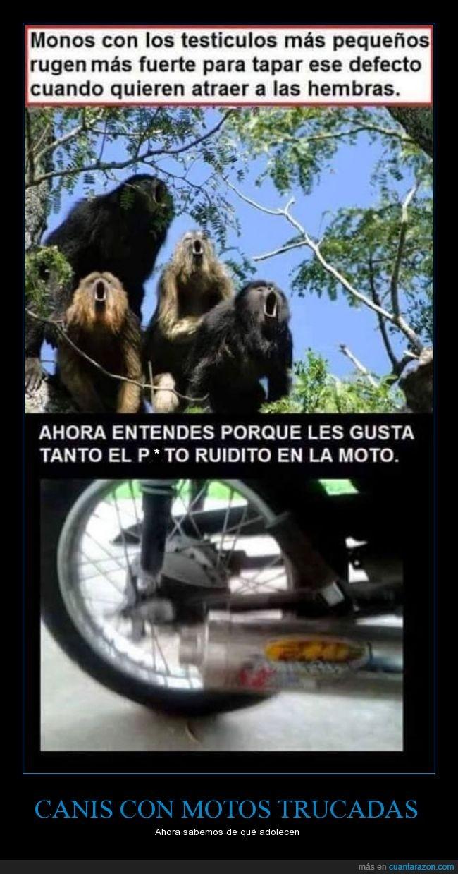 compensar,gritar,Monos,motocicletas,primates,ruido