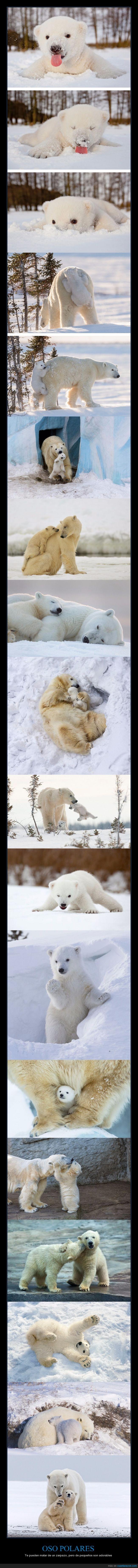 cachorro,hijo,madre,osezno,oso,polar