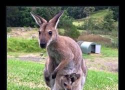 Enlace a Debe ser guay ser amigo de un wallaby