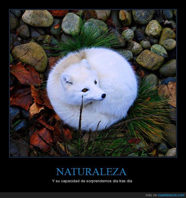 animal,blanco,brutal,zorro artico