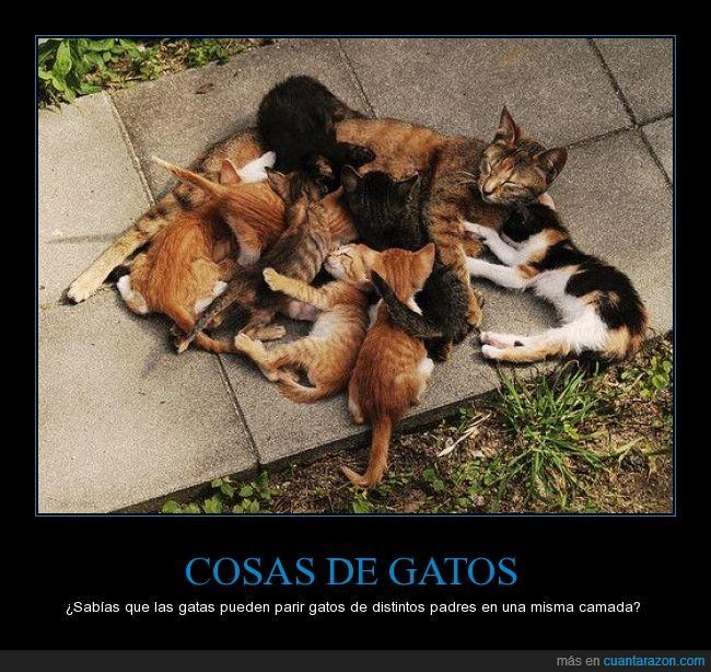 camada,curiosidad,felinos,gatos,madre,ovulación inducida,padre