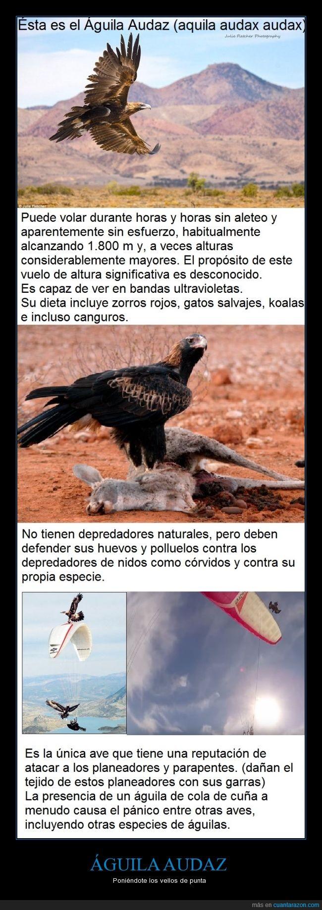 águila,ataca parapentes,atacar,audaz,australiana,come canguros