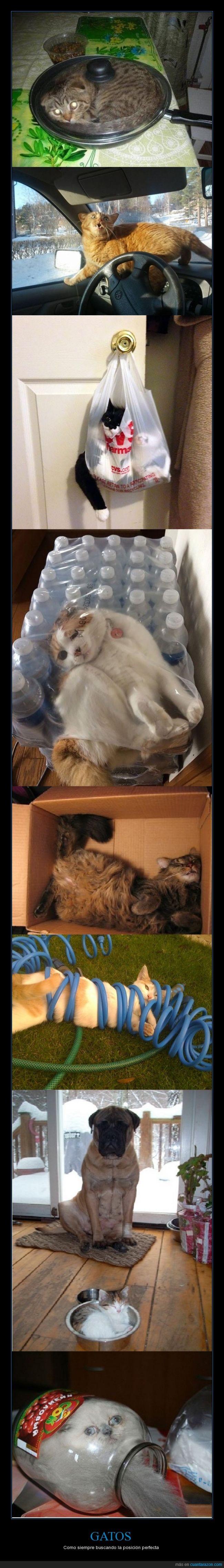 gato,incomodo,posición dormir,sarten