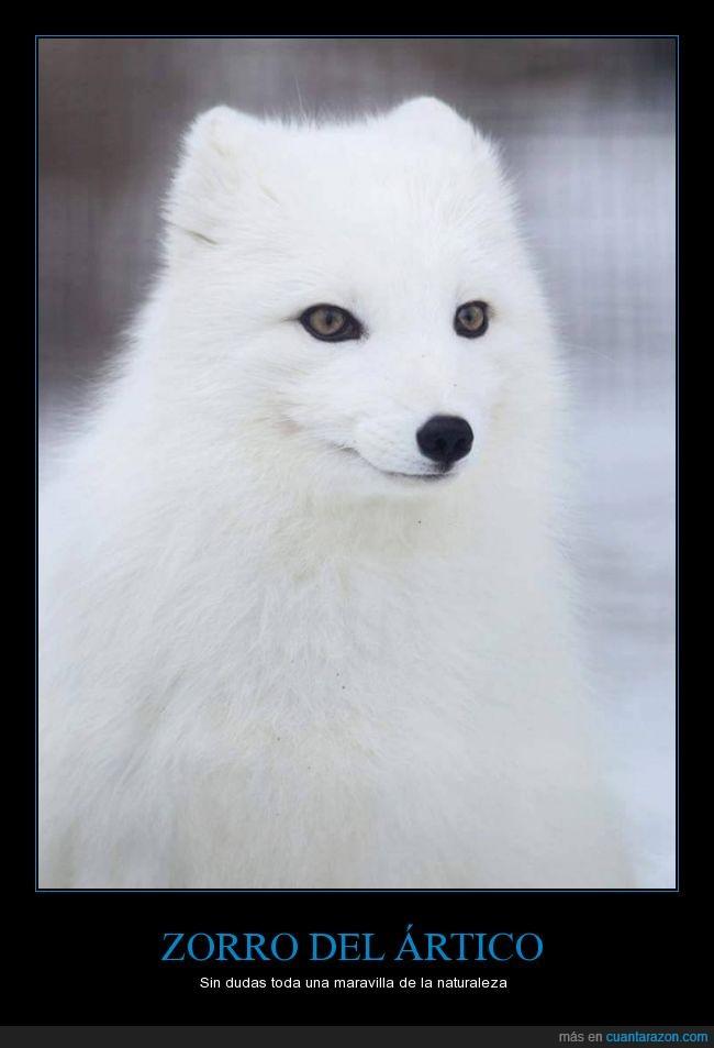 artico,belleza,naturaleza,ojos,zorro