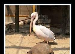 Enlace a Capibaras: Se hacen colegas hasta de los cocodrilos... ¡Y muchos más!