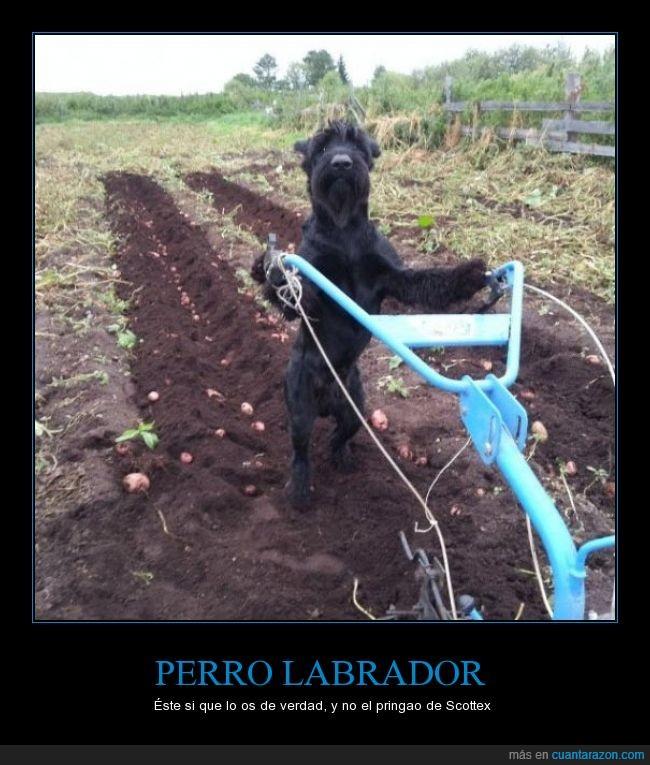 arar,campo,huerto,labrador,labrar,perro,plantar