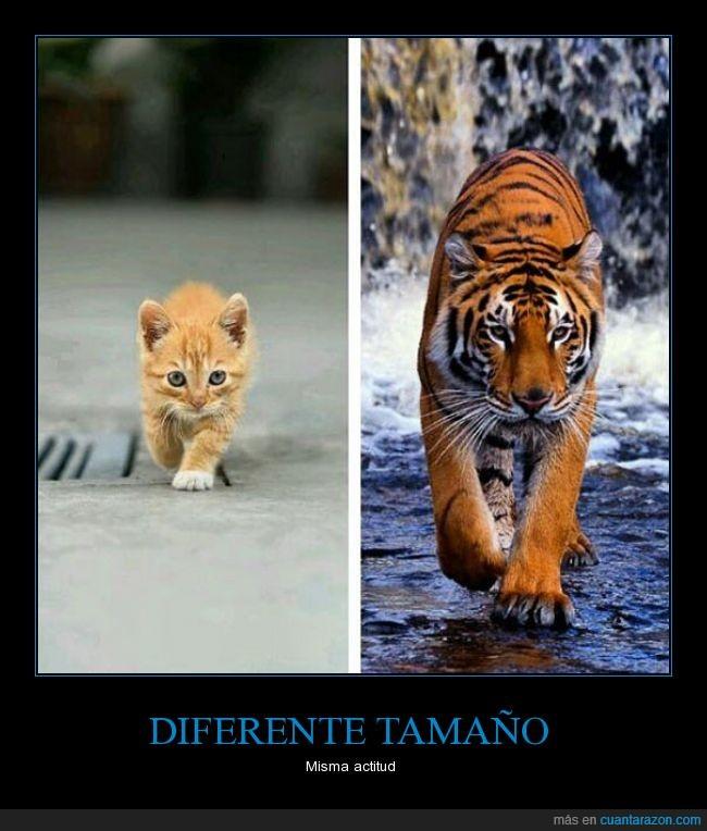 actitud,caminar,diferente,gato,tigre