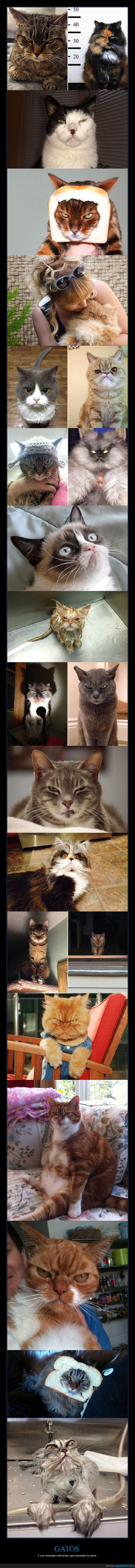 enfadado,enojado,gato,genial,malvado,mirada