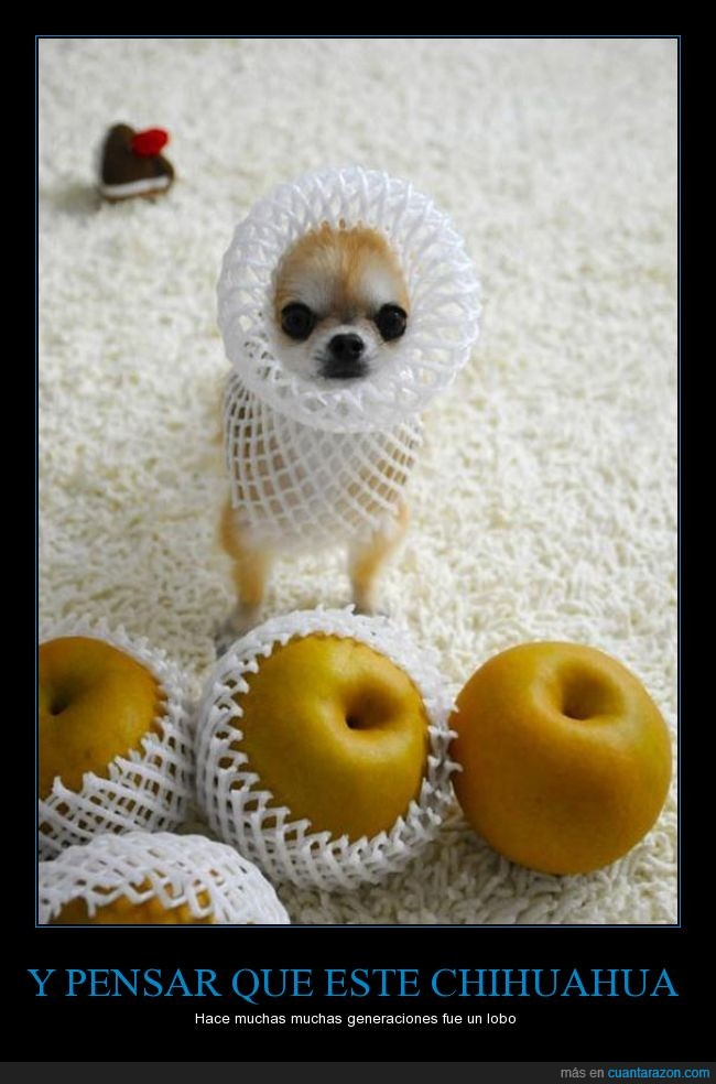 caber,chihuahua,fruta,manzana,net,pequeño,perro,red