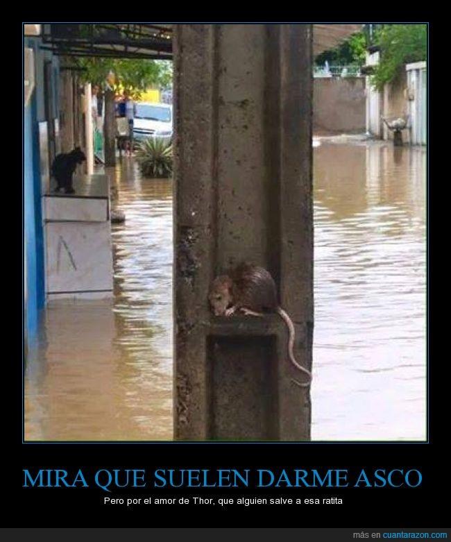 animal,inundacion,miedo,pobrecilla,pobrecillo,rata,raton,susto