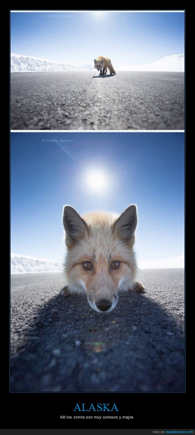 acercarse,alaska,curiosidad,curioso,majo,mirar,zorro