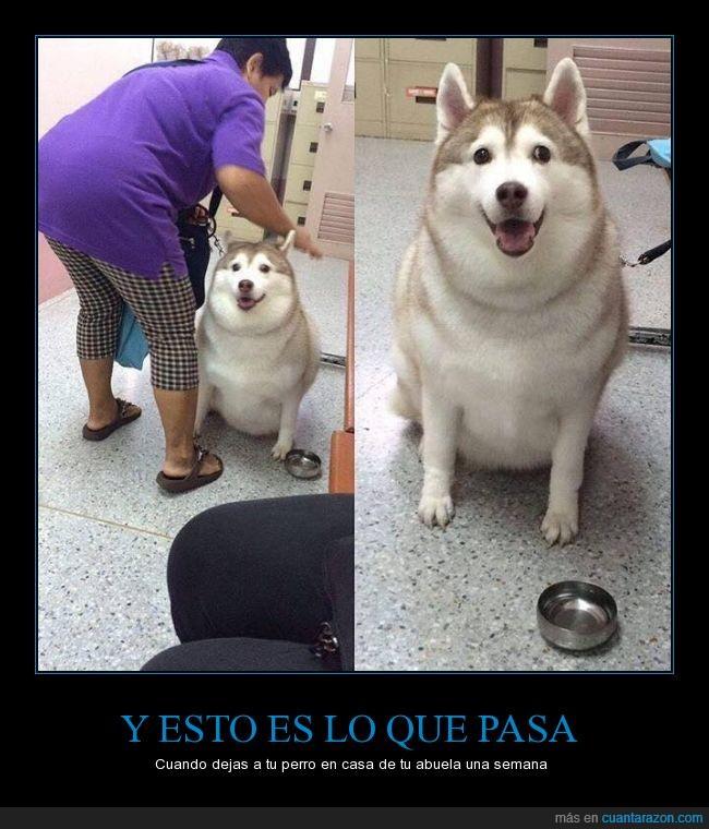 engordar,gordo,husky,perraco,perro