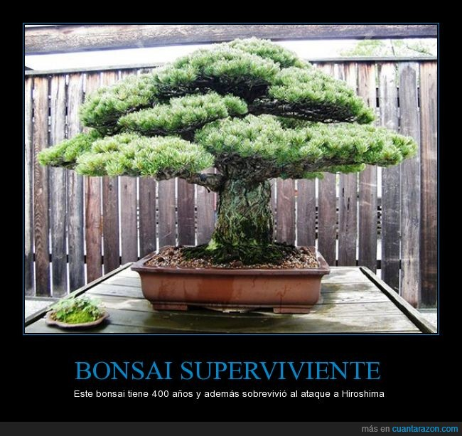 400,ancestral,años,antiguo,árbol,bomba,bonsai,Hiroshima,japon