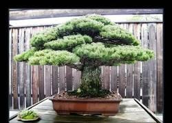Enlace a Dicen que a este bonsai lo riegan con pis de Jordi Hurtado