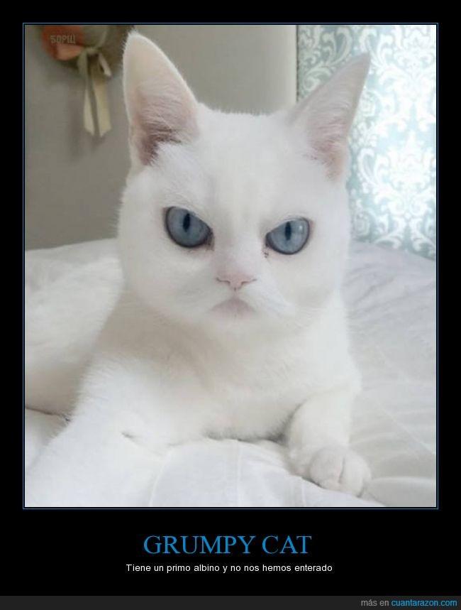 albino,azules,blanco,gato,grumpy,ojos