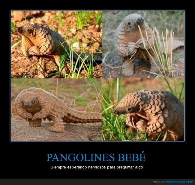 Adorables,animal,están en peligro de extinción,nervioso,pangolines,preguntar