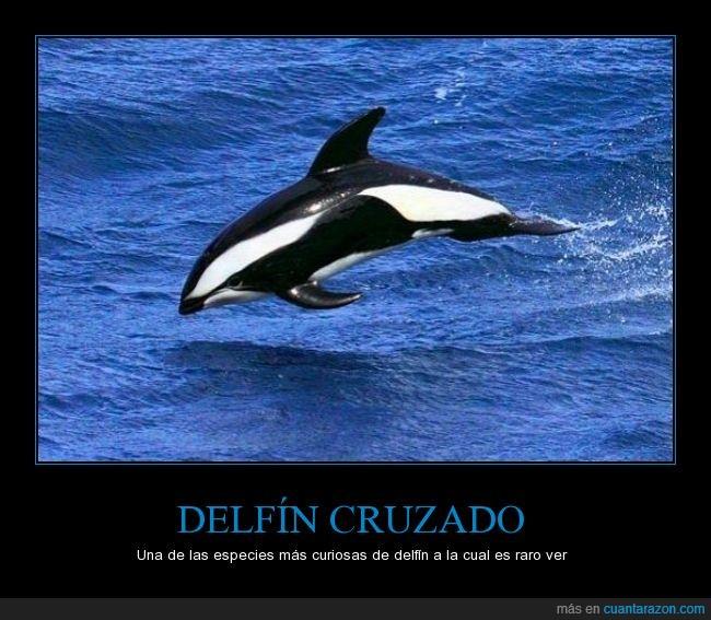 agua,blanco,cruzado,delfin,negro,orca