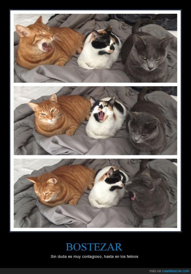 bostezar,contagiar,gato,pegar,tres