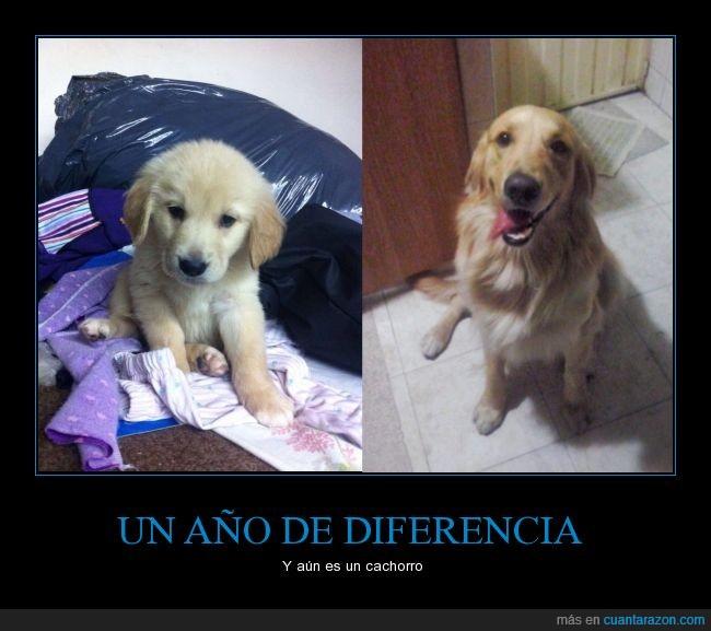 año,cachorro,crecimiento,es mi perro,perro