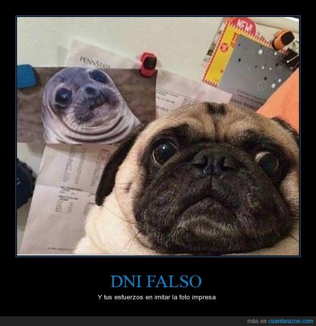 carlino,dni,falso,foca,perro,pug