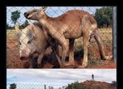 Enlace a Pillada total a este cerdo y a este canguro mientras lo hacían