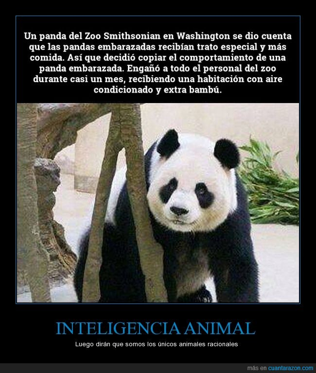 embarazo,fingir,oso panda,zoo