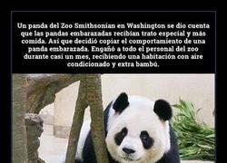 Enlace a Oso panda finge estar embarazado para tener favores especiales