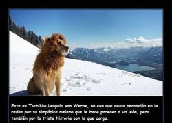 Enlace a La increíble historia de Tschikko, el perro abandonado que se convirtió en Rey León