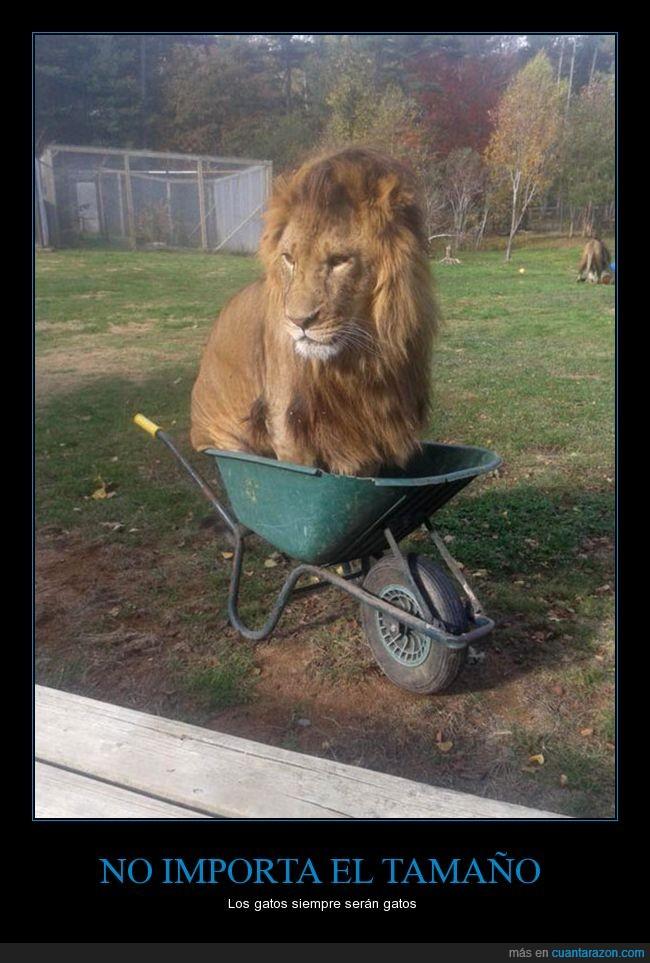 carretilla,gato,león