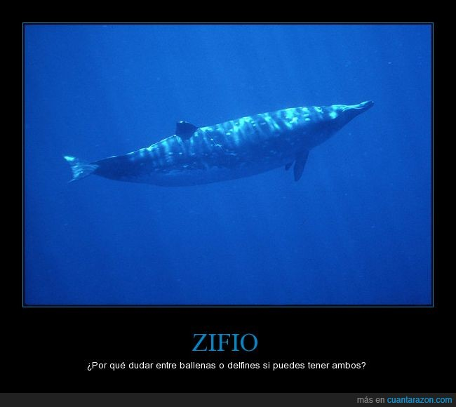 amenazado,animal,ballena,ballena picuda,cetaceo,delfin,mar,zifio