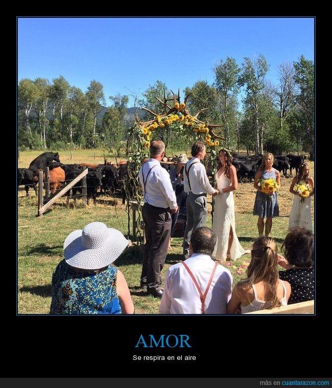 amor,boda,montando,vacas
