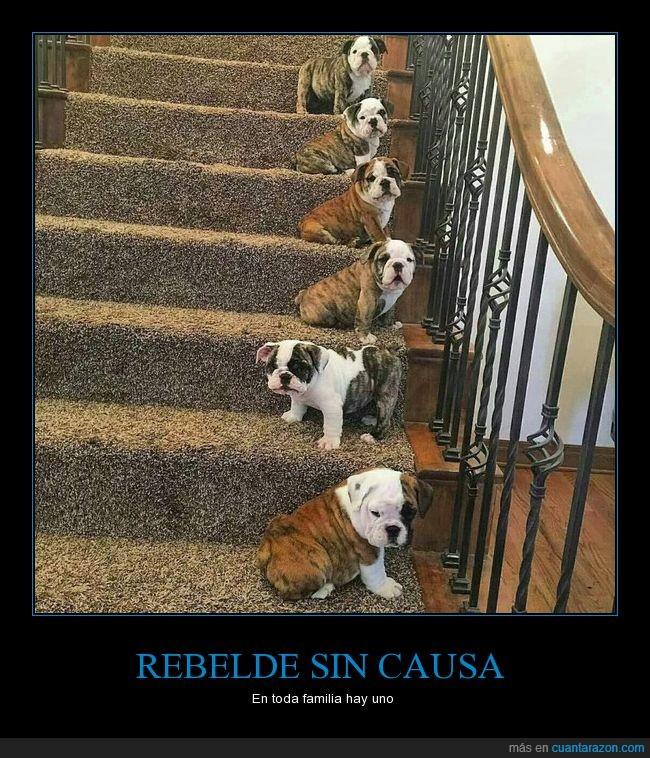 al revés,bulldog,lado,perro,rebelde