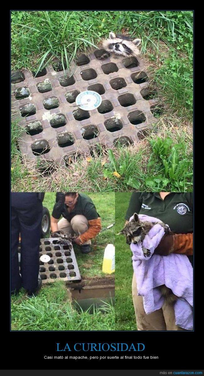 cabeza,curiosidad,mapache,matar,rescatar,rescate,sacar