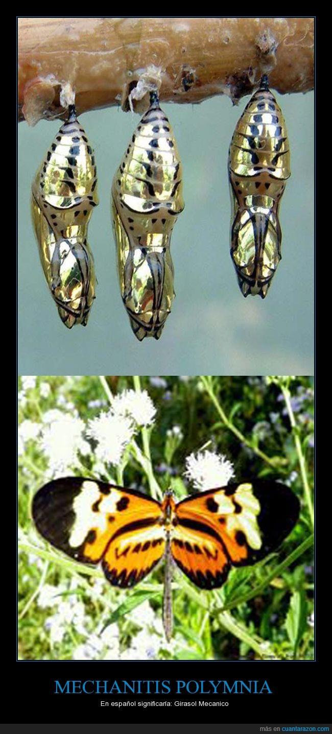 belleza,insecto,mariposa,mechanitis