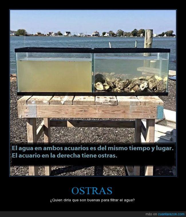 acuario,agua,filtrar,ostras