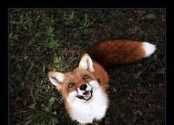 Enlace a Conoce a Juniper, el zorro que es prácticamente como un perro