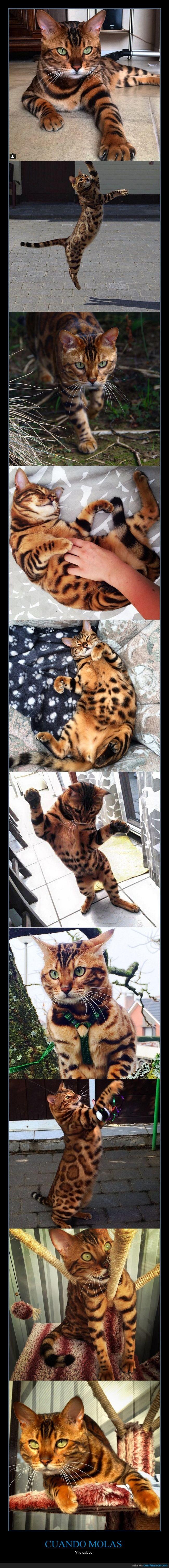 gato,guepardo,pelaje,piel,thor