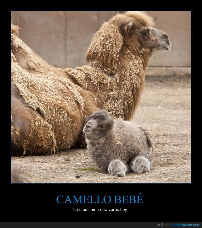 bebé,camello,tierno