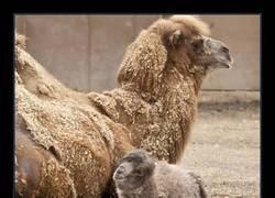 Enlace a Este camello bebé es lo más tierno que verás hoy