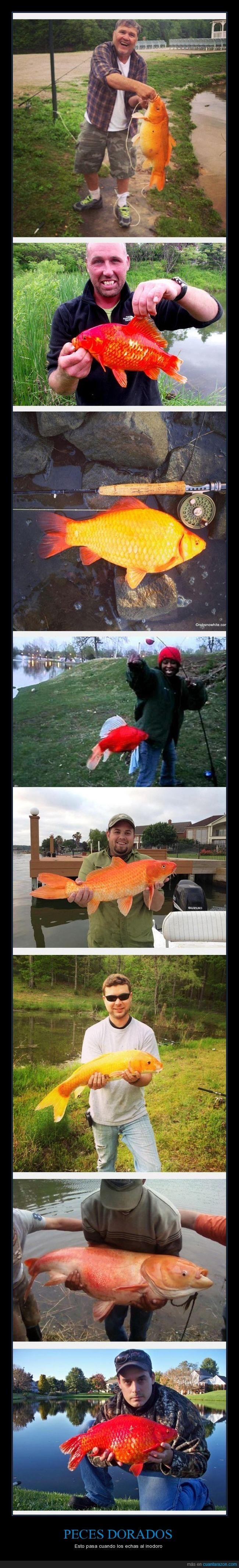 crecer,lago,no lo hagan; matas a otros peces,Pez dorado