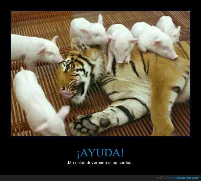ayuda,cerdo,devorar,tigre