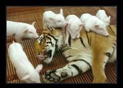 Enlace a Los tigres ya no son lo que eran