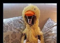Enlace a Esta cabra sufre de ansiedad hasta que su amo le pone este disfraz de pato y se calma