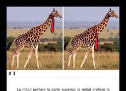 Enlace a Internet no se pone de acuerdo dónde deben llevar la corbata las jirafas