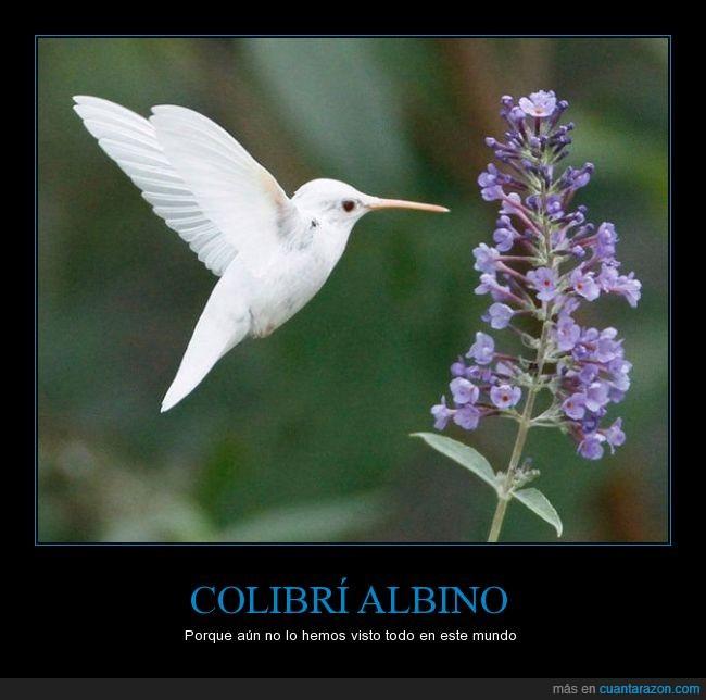 albino,blanco,bonito,Colibrí,extraño