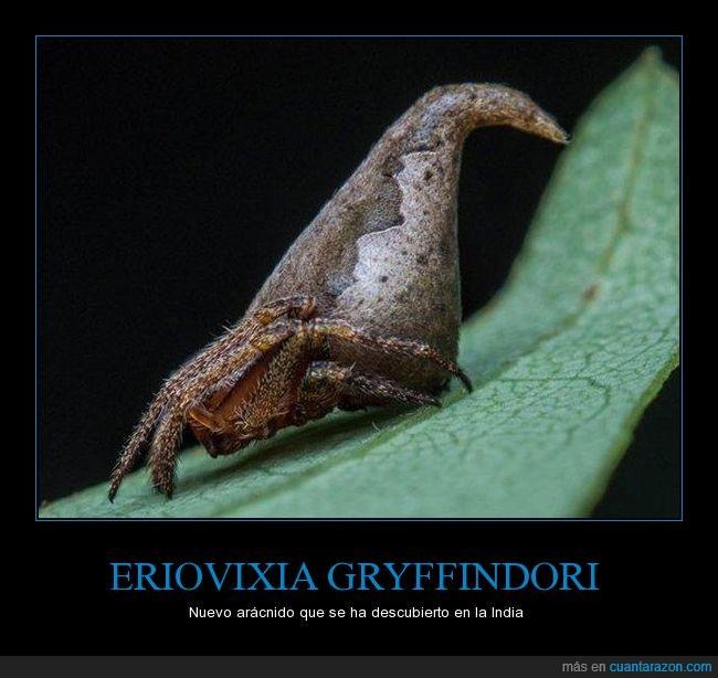 Araña,Eriovixia gryffindori. arácnido,Harry Potter,India