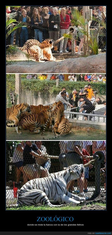 fuerza,tigres,zoológico