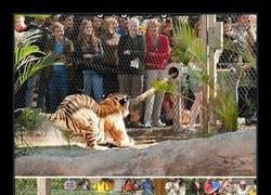 Enlace a ¿Has comprobado tu fuerza respecto la de un gran tigre?