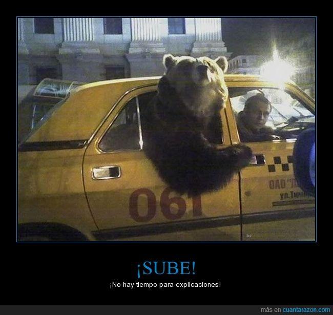 humor,oso,plantigrado,taxi