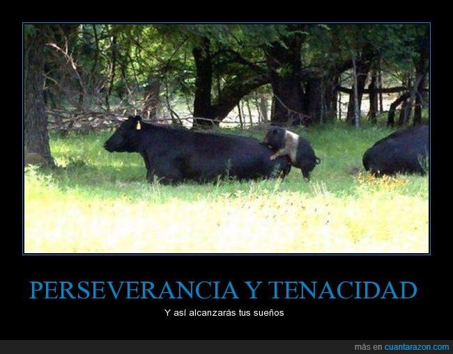 cerdo,cruce,vaca